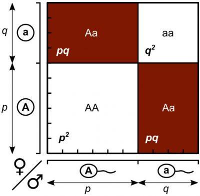 Punnett square, Hukum Hardy-Weinberg