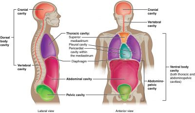 Pengertian dan jenis Rongga tubuh