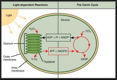Jelaskan Proses Fotosintesis Dalam Kloroplas Melalui Dua Tahapan Reaksi