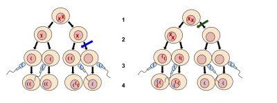 diagram Nondisjunction