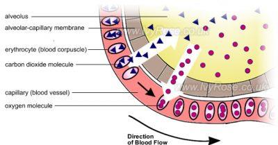 membran alveolar-kapiler