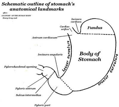 Anatomi eksternal skematik lambung Manusia
