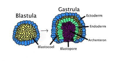 Pengertian dan Jenis Gastrulasi