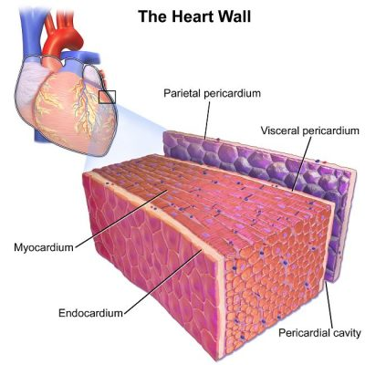 Otot jantung - Pengertian, struktur dan fungsi