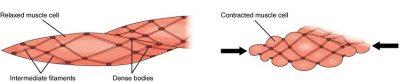 Kontraksi Otot polos