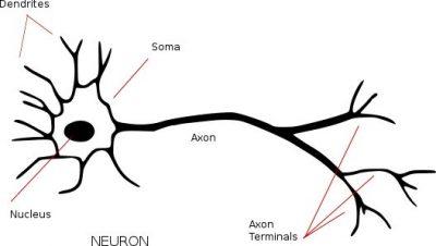 Pengertian Sel somatik dan contoh Sel somatik