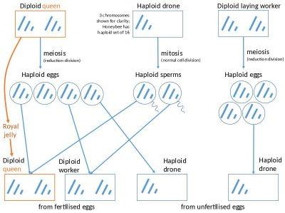 Penentuan Jenis Kelamin Haplodiploid pada Lebah Madu