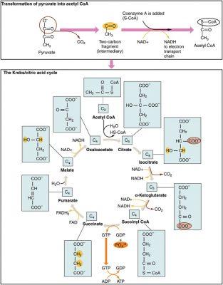 Fungsi utama siklus Krebs