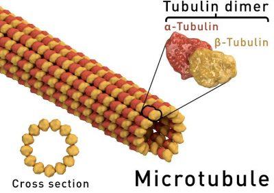 Struktur mikrotubulus