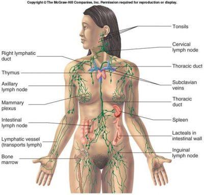 diagram sistem limfatik