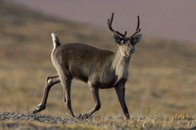 caribou mamalia tundra