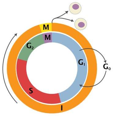 Interfase - Pengertian, fungsi, tahapan dan ciri