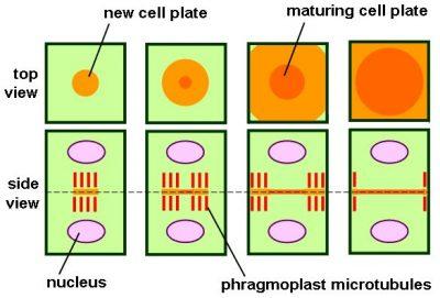 Sitokinesis - pengertian dan proses pada sel hewan serta tumbuhan