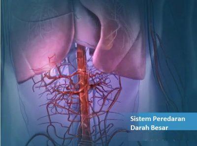 Pengertian peredaran darah kecil dan besar