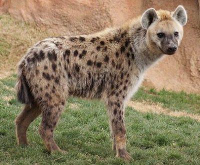 hewan Hyena
