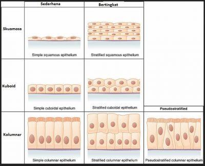 Jaringan Epitel: Pengertian, fungsi, jenis, contoh dan ciri-ciri