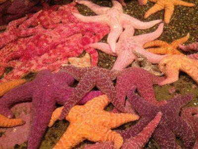warna bintang laut