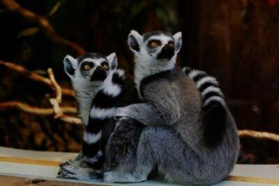 Lemur ekor cincin