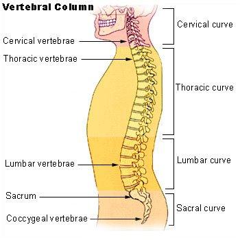 anatomi sumsum tulang belakang
