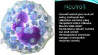 neutrofil