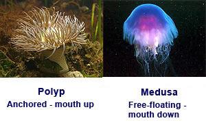 polip dan medusa