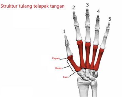 struktur tulang telapak tangan