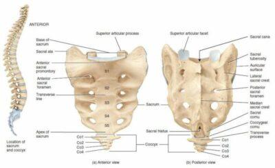 Struktur anatomi Sakrum