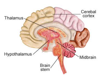 Letak talamus pada otak