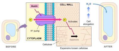 Mekanisme kerja hormon Auksin di Tunas tumbuhan