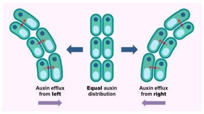 Peran Pompa Efluks hormon auksin pada Pola Pertumbuhan pada Tunas Tanaman