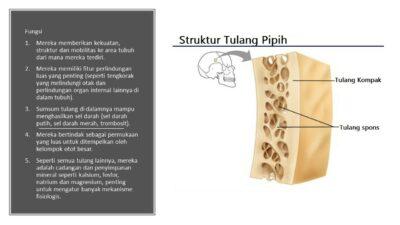 fungsi tulang pipih