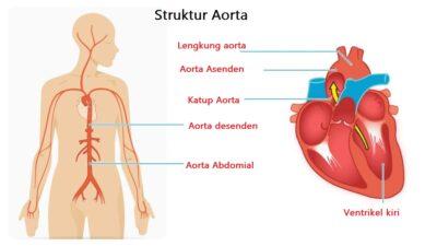 Struktur aorta