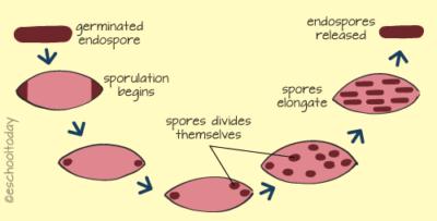 Ilustrasi sporulasi pada bakteri