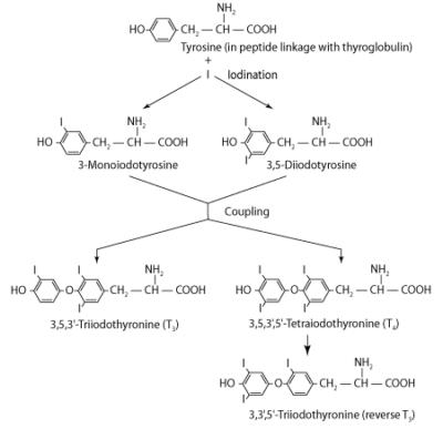 Sintesis dan Pelepasan Hormon Tiroid