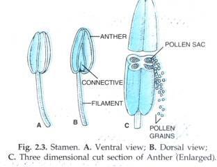 Struktur Benang sari: